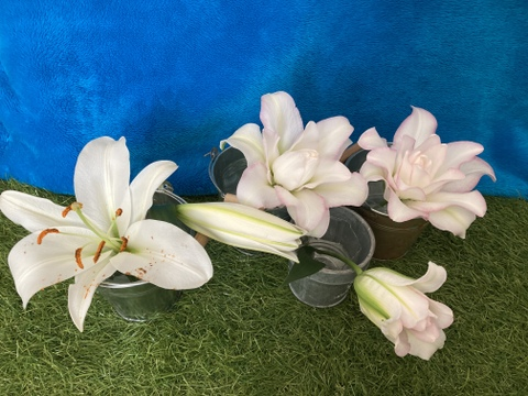 <One Lily>八重アヌースカ薄ピンク+一重白色ミックス5個