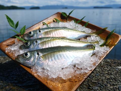 【今が旬:お魚好きさん必見!】*期間限定*夫婦漁師が釣った一本釣りアジ(8~10尾)
