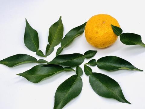 農薬、除草剤、化成肥料不使用  兵庫県神河町の「柚子葉」(20枚)