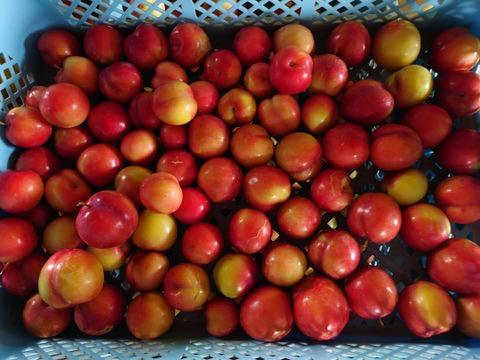 【数量限定】 甘酸っぱく美味しい♪ 減農薬のまーくん家のスモモ♪ 2キロ