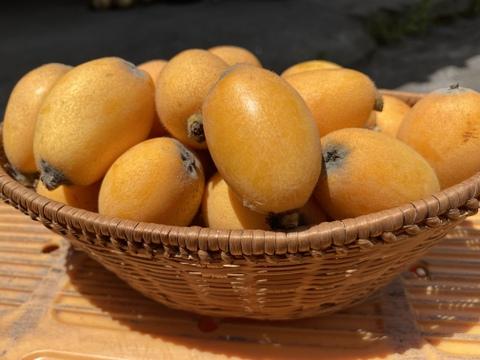 鹿児島のシンボル 桜島の春びわ(約1kg)約30粒 即発送可