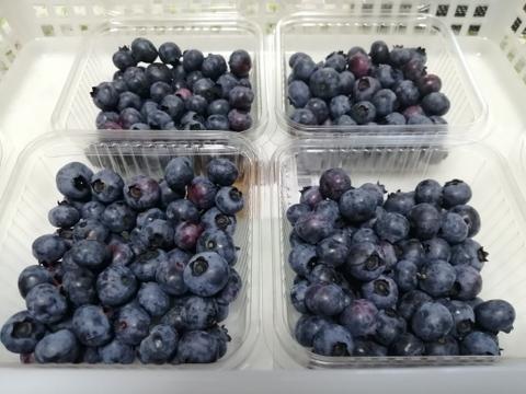 【道の駅で人気】酸っぱ甘いのがちょうど良いよね!ブルーベリー生果実400グラム※画像のうち主に小さめの粒を発送します。時々割れや萎れた実も色むらもあります。応援してくださりありがとうございます。