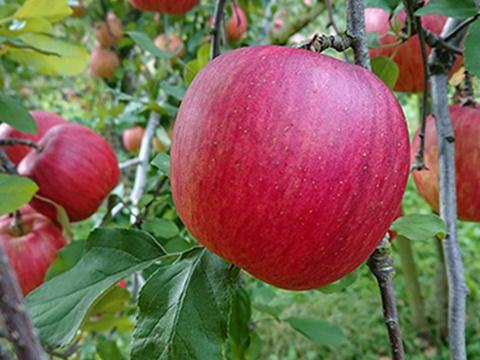 家庭用葉とらずりんご 5kg