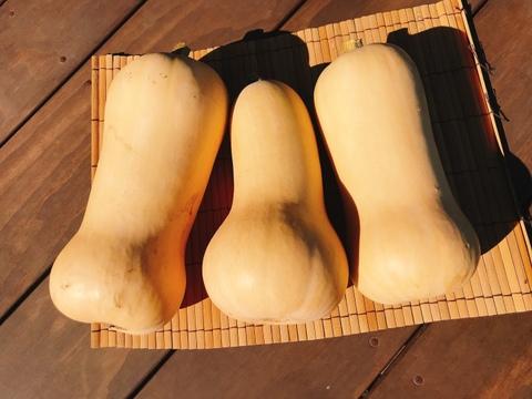 【数量限定】濃厚でしっとり甘い!バターナッツ南瓜(1.3㎏以上/1玉)
