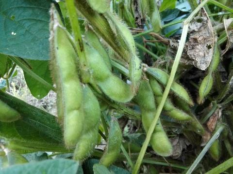 北海道産あおばた枝豆(枝つき)