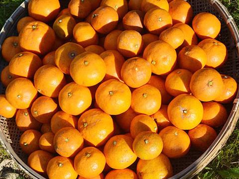 自然栽培(無農薬・無施肥) 金の蜜柑20kg 熊本産