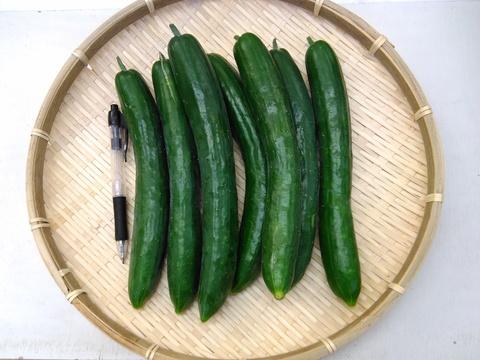 胡瓜 3本セット