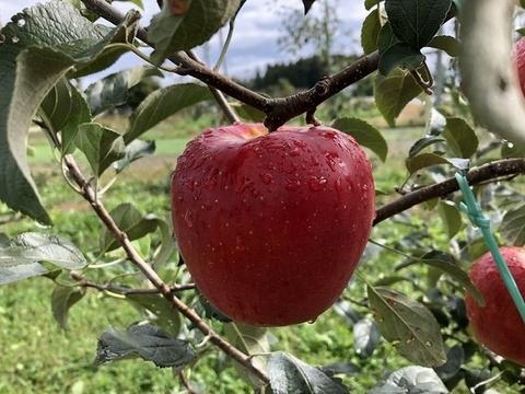 【幻の林檎】奥州ロマン りんごの概念変わります。8〜15玉 商品ID52109