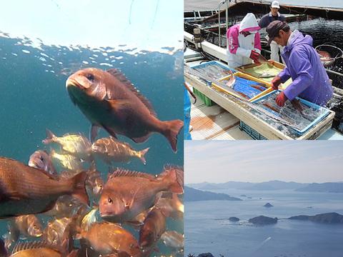 真鯛が!本マグロが!みやびブランドお試しセット(鯛しゃぶ、鯛めし、赤身柵、ネギトロ 各品とも約2人前)
