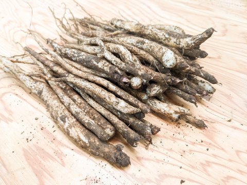 【飛騨・美濃伝統野菜】香り豊かな「きくごぼう(規格外品)」(300g)