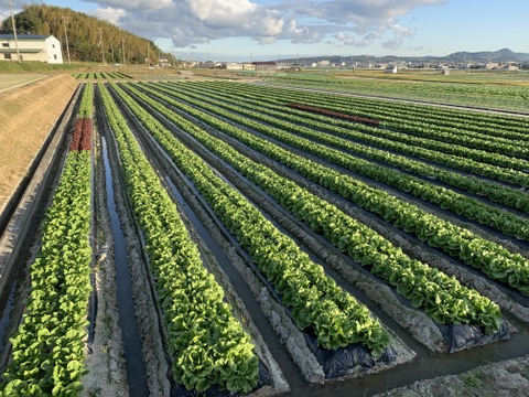 淡路島のシャキシャキレタス8玉🥬特別栽培農産物