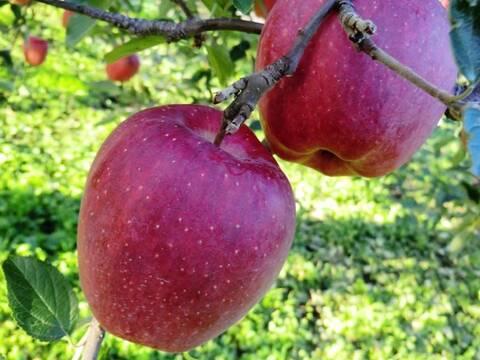【先行予約】昔懐かしのりんご 🍎 スターキング 🍎 2.5kg