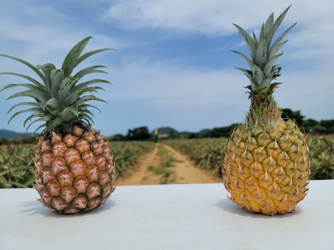 《極上パイナップル》【2玉】ピーチパインとスナックパインの食べ比べセット❗