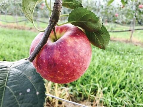 【夏りんご第3弾】今年本格始動シナノリップ3キロ12玉前後