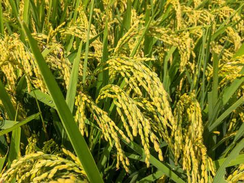 山形置賜飯豊【ささにしき 精米5kg】令和2年秋収穫 希少育成困難品種