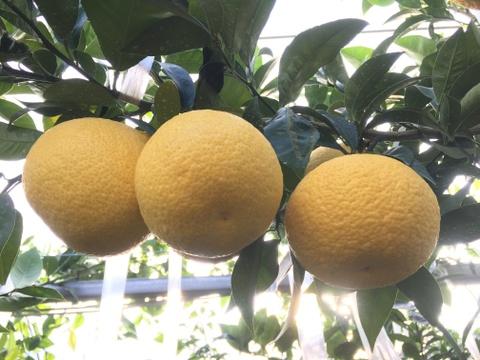 甘夏みかん(在来種 川野夏橙かわのなつだいだい) 4kg
