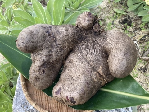 与論在来種!食物繊維たっぷり山芋‼︎オーガニックエコフェスタ優秀賞受賞‼︎ 有機JAS認定アカヤマン(2000g)【おすすめの食べ方付き】