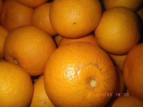 自然栽培はっさく・紅八朔混合(1kg) 因島で59年以上農薬肥料不使用の畑で栽培 完熟落果