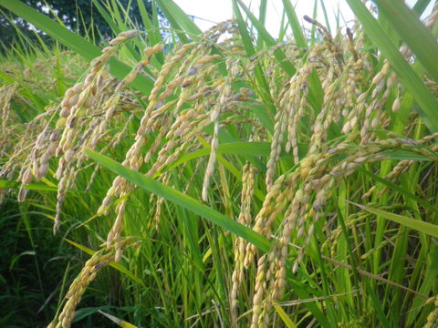 もっちり美味しい! 無農薬 コシヒカリ 玄米(10Kg)