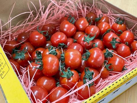 【少量サイズ】プチぷよ☆さくらんぼのようなミニトマト☆