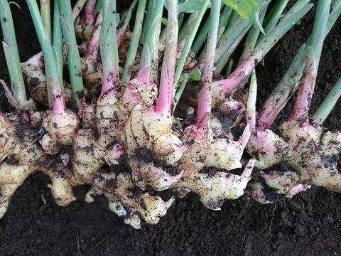 笑顔のショウガ 自然栽培の生姜 手作りジンジャーシロップのレシピ付き