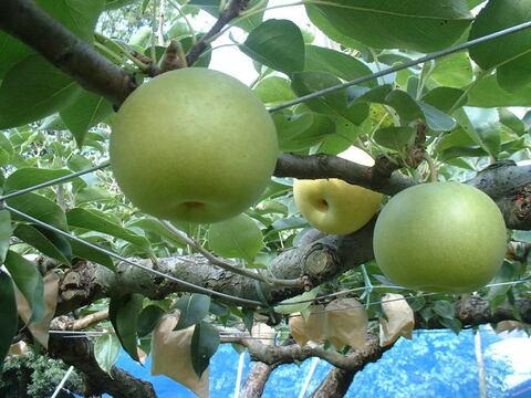 【予約販売・鳥取産】一度食べたらやみつき「朝採り20世紀梨」3kg(7~9玉入り)