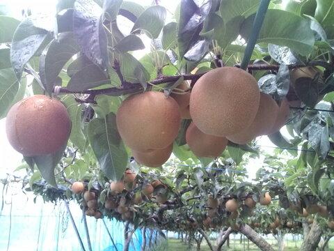 安野農園の恋する豊水梨 訳あり3キログラム 5〜12玉