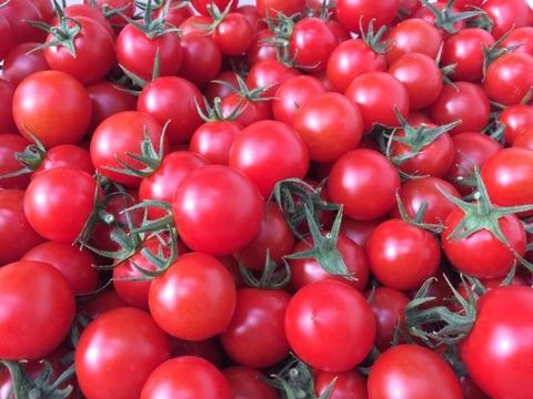 人気【500g&ドライ×2】 名古屋の《秀甘》有機栽培ミニトマト【飯田農園】miuトマト