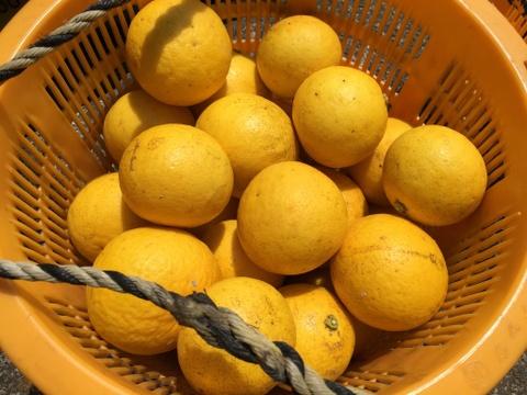 もうすぐ終了 農薬不使用ニューサマーオレンジ 2キロ
