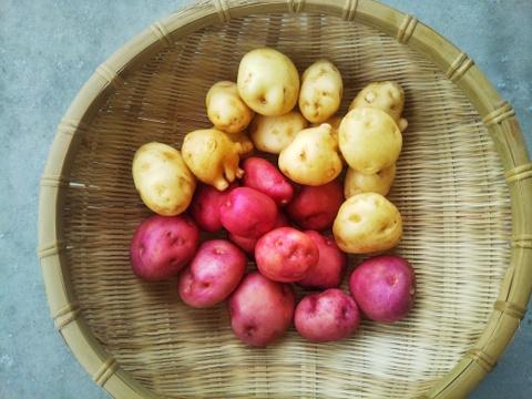 【珍し芋詰合せ】・・・ごうしゅ芋/菊芋 世界農業遺産ブランド野菜 農薬不使用栽培