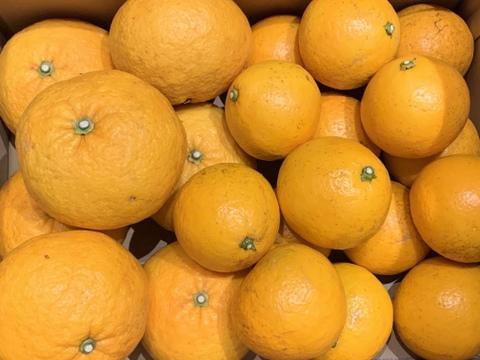 伊豆白浜産 自然栽培の甘夏と紅ニューサマーオレンジの詰め合わせ