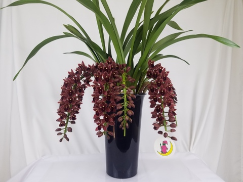 【チョコレート色の珍しい蘭です‼】フォアゴットンフルーツ5本立