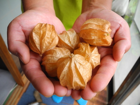 【10月限定!】「食べる宝石」有機オレンジチェリー  (食用ほおずき)<50g×4パック>