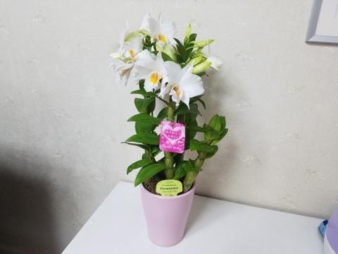 """【母の日ギフト】かわいい贈り物♡~期間限定早得価格!!~夏の蘭""""フォーミディブル"""""""