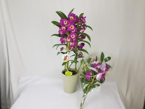 【お誕生日や記念日春のお祝いに】デンドロビウム5号サイズ鉢3本立~品種はおまかせで~