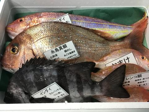 8月出品最後‼️ 天然糸島真鯛1匹と漁師におまかせ(2匹)セット!(旬の魚)