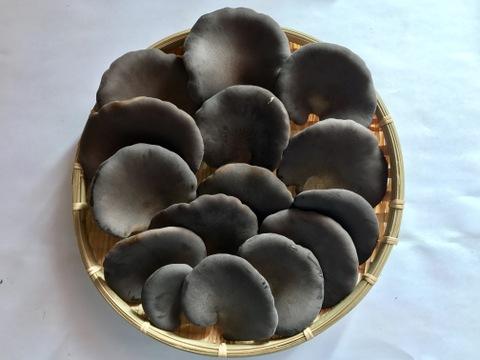 【うま味と食感に感動!】信州中野産 特選・黒あわび茸(150g×12袋)
