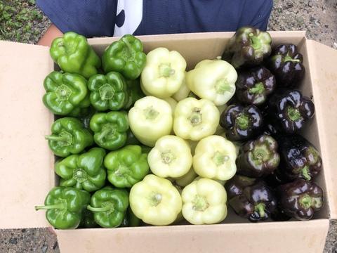1【数量限定】希少3色ペッパー美味しさ3倍✨!旨ピーマン!自然栽培 農薬不使用 固定種 1.5kg以上!