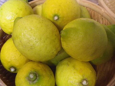 自然栽培レモン(10kg) 59年以上農薬肥料不使用の畑で栽培 因島産