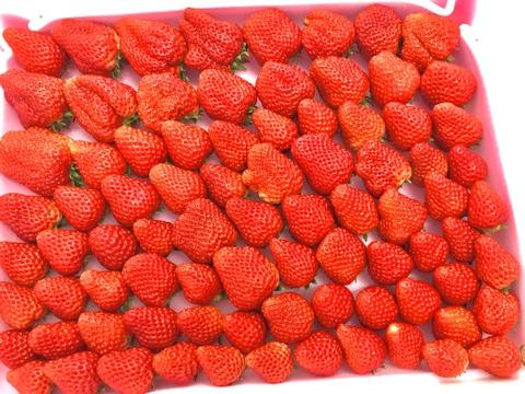 朝どれ☆完熟☆濃く甘いちご 紅ほっぺ 2000g以上