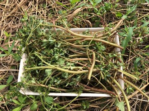 割引🉐滑莧(スベリヒユ)400g★オメガ3脂肪酸:ALA&EPAも含む希少食材🍀葉野菜No1含有量🍀スーパーフード06/01~08/31