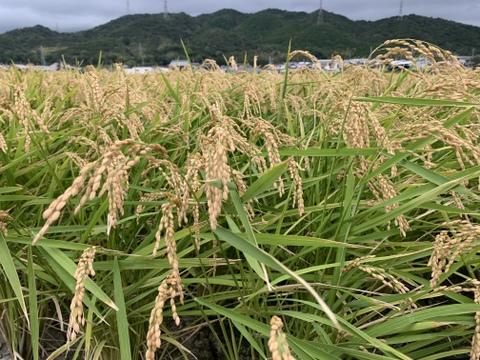 淡路島からの新米キヌヒカリ〜玄米10kg ❣️令和3年度産新米