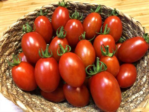 【訳あり品】完熟ミニトマト 1.2kg 食べ比べセット 「アイコ」&「シシリアンルージュ」