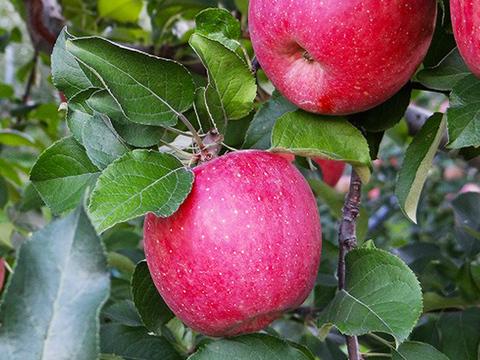 【贈答用】葉とらずサンふじ 3kg 約8~10個