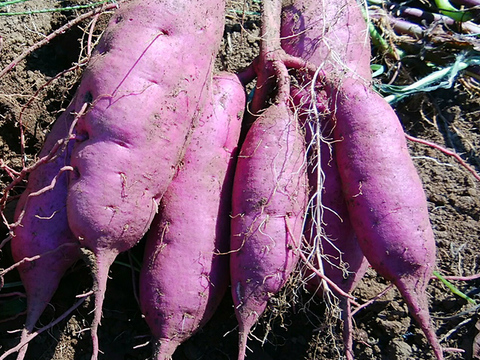 【肥料・農薬不使用栽培】紫いも(パープルスイートロード) 3kg