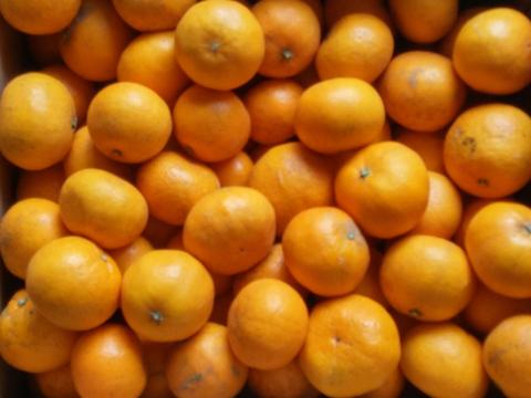【12月中旬販売予定!】さわやかな香りのお蜜柑「はれひめ」3kg