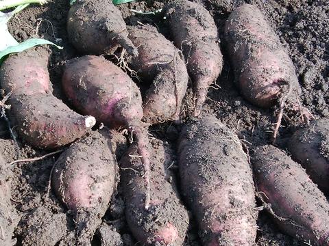 【肥料・農薬不使用栽培】さつまいもセット2キロ
