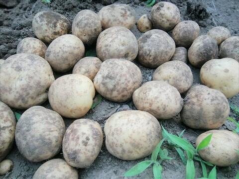 ポテサラに最適!【肥料・農薬不使用栽培】甘みとコクのホクホクじゃが芋*デジマ(1kg)